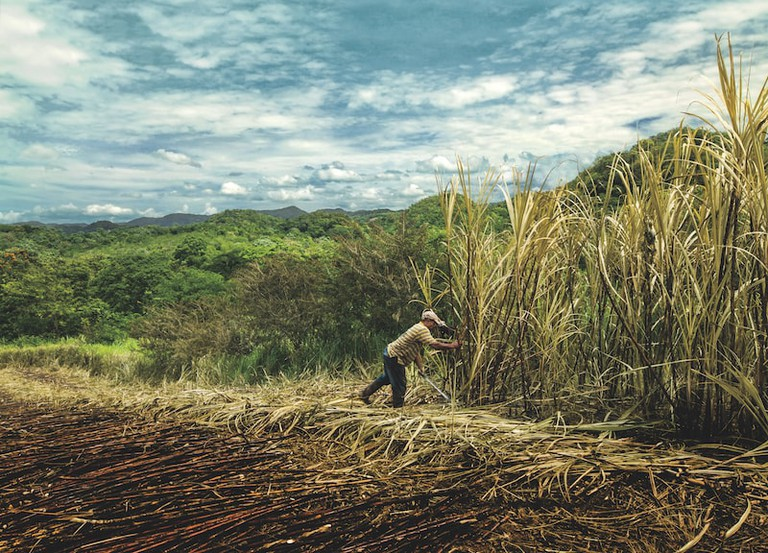 A field of sugar cane, which rum is made from