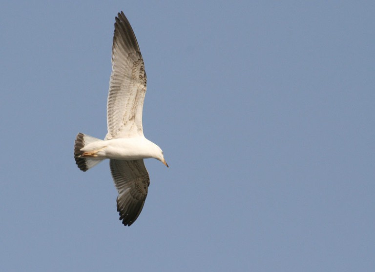 Armenian_Gull_Juvenile_in_flight