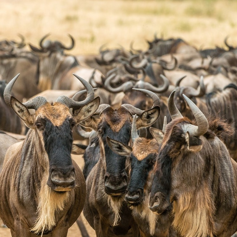 Wildebeest gathering in the Maasai Mara before their annual migration