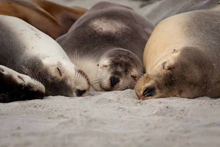 Australian sea lions on Kangaroo Island © Domenico Salvagnin / Flickr