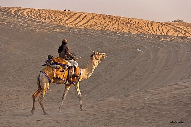 Camels were a key mode of transportation, carrying Bedouins across the desert in search of water and shelter