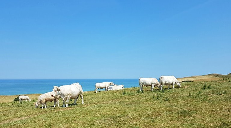Cows in Normandy produce the milk used to make Camembert