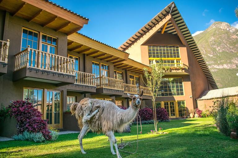 Llamas roam in Mountain Lodges of Peru's Lamay Lodge