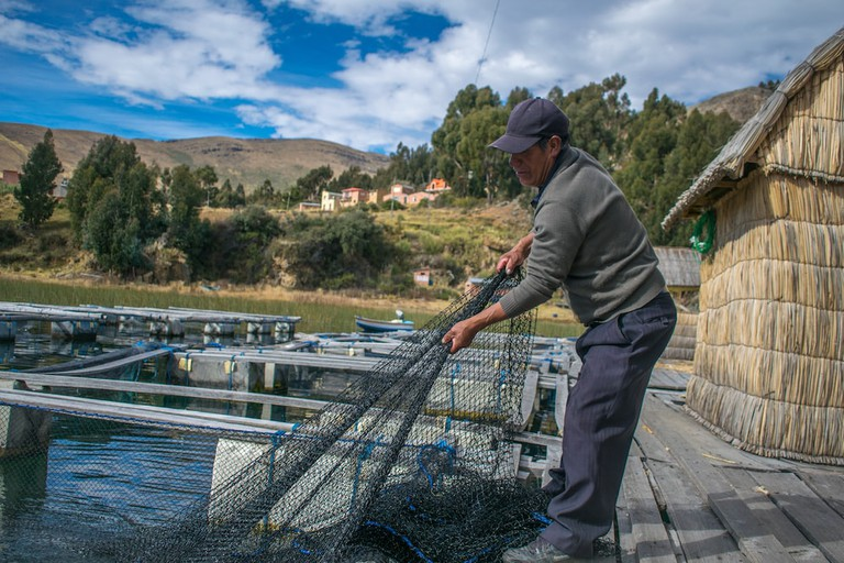 A fisherman on Copacabana's floating islands reels in his net filled with trout