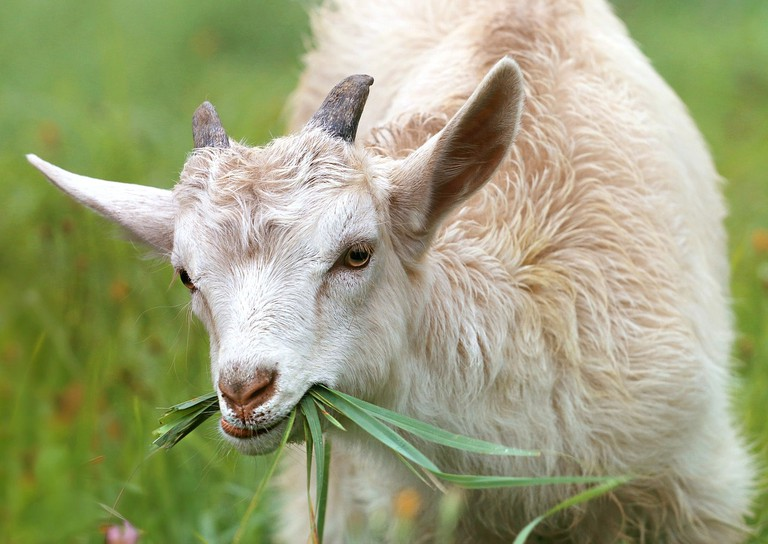 goat-1596880_1280