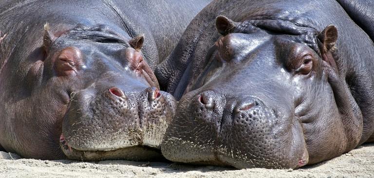 hippo-783522_1920