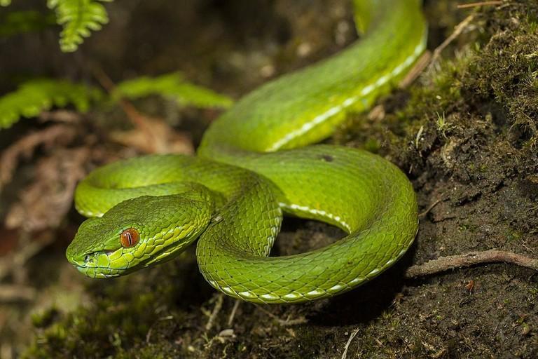 Hong Kong Snakes Bamboo Viper