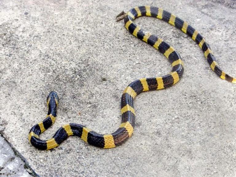 Hong Kong snakes Banded Krait