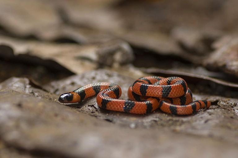 Hong Kong snakes Coral Snake