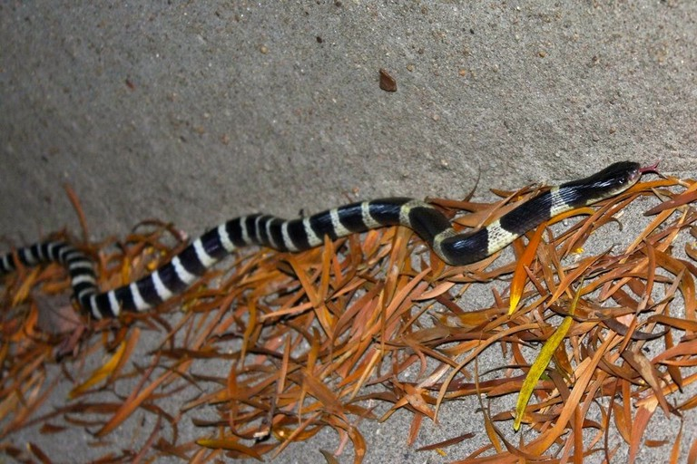 Hong Kong snakes Many banded Krait