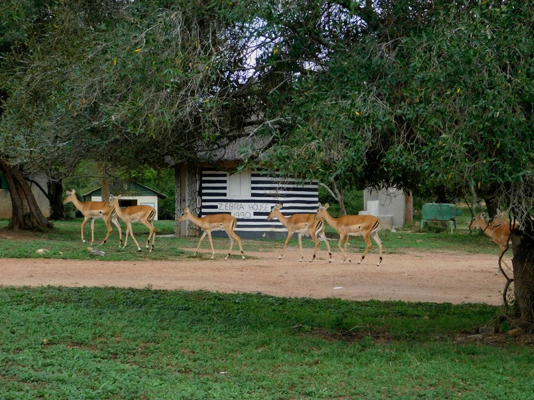 Impala passing by Zebra House