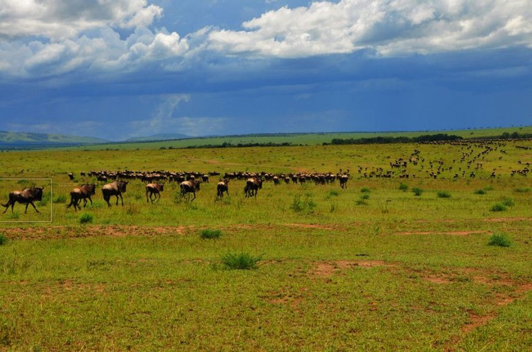 Wildebeest on their migration path