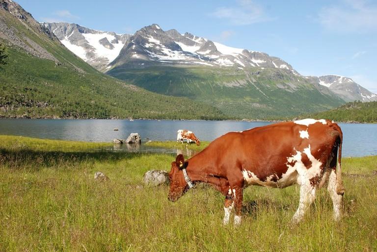 Meet the cows of the local farm