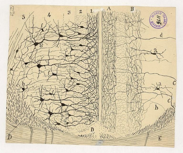 Santiago Ramón y Cajal, dessin scientifique, cône transversal du cortex interhémisphérique, 1904, encre de Chine, Courtesy of the Cajal Institute, Madrid, Espagne © CSIC