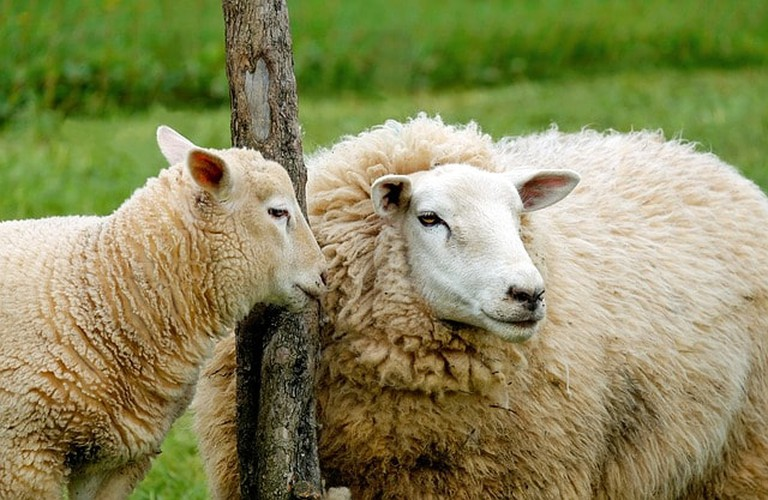 sheep-1320940_640