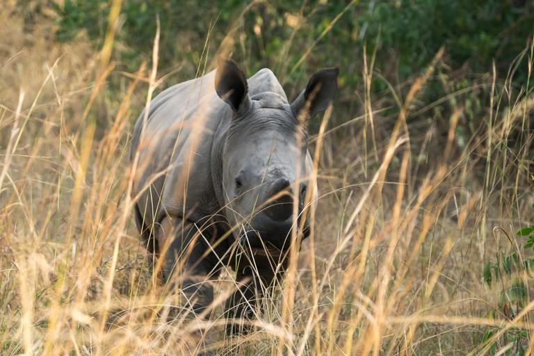 A young rhino at the Ziwa Rhino Sanctuary in Uganda
