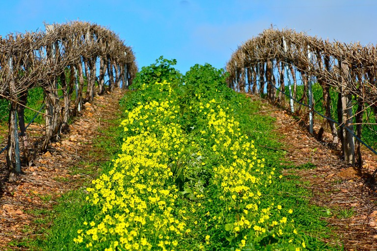 Vineyard in South Australia © Kyle Taylor / Flickr