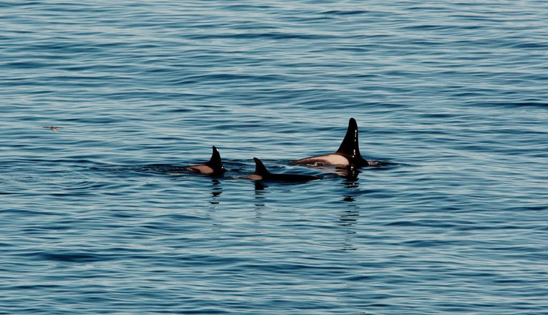 Orcas In Shetland, Scotland