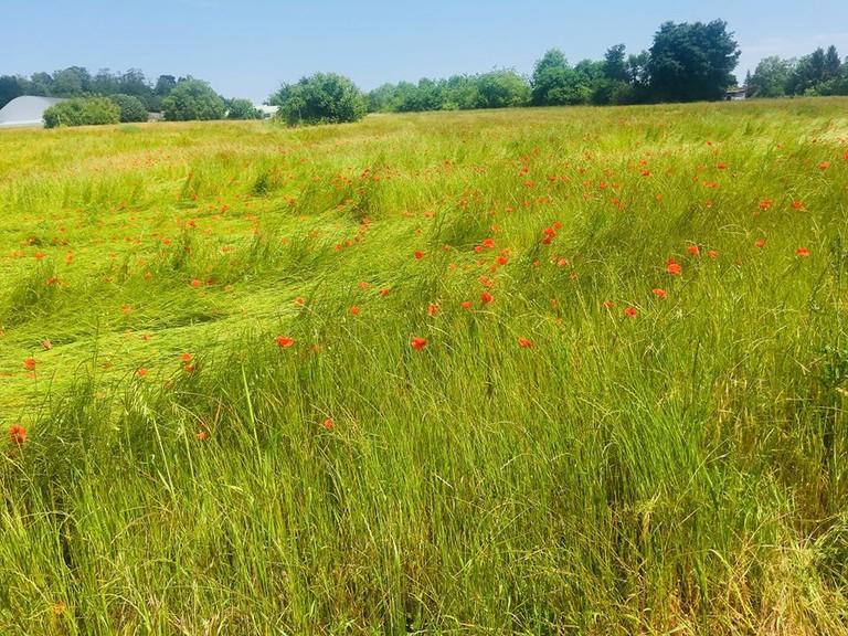 Poppy field in Auvers-sur-Oise