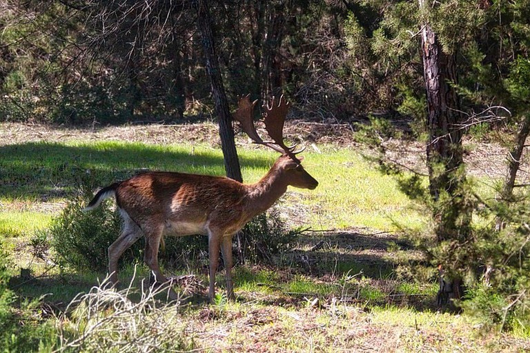 A wild deer in Doñana natural park