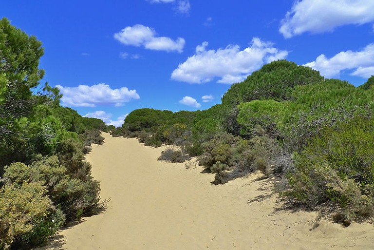 Pine forests in Doñana natural park