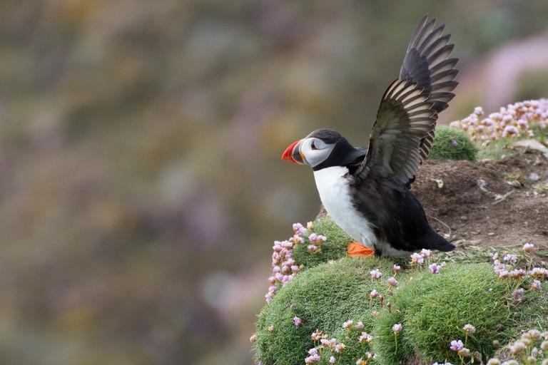 Puffin, Shetland, Scotland