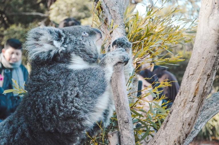 Cute koala at Bonorong Wildlife Sanctuary