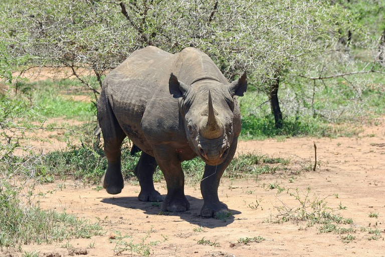 black-rhinoceros-412667_1920