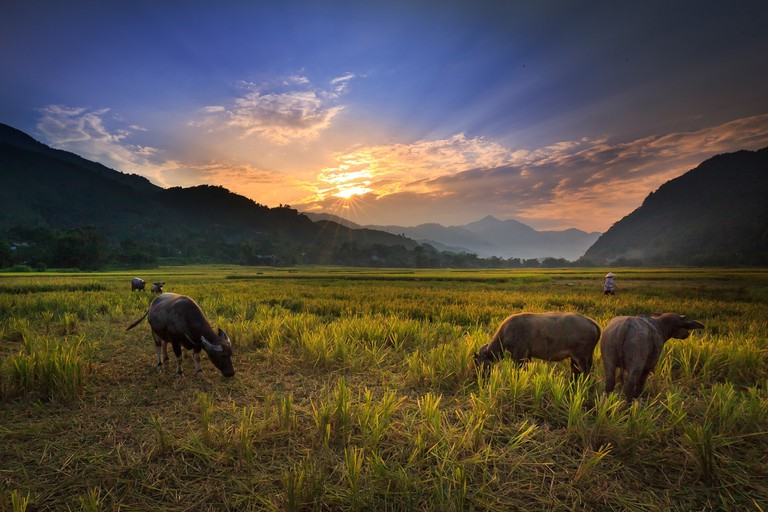 buffalo-on-the-rice-field-3344519_1920