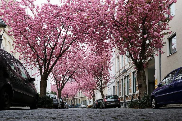 cherry-blossom-2198737_1280