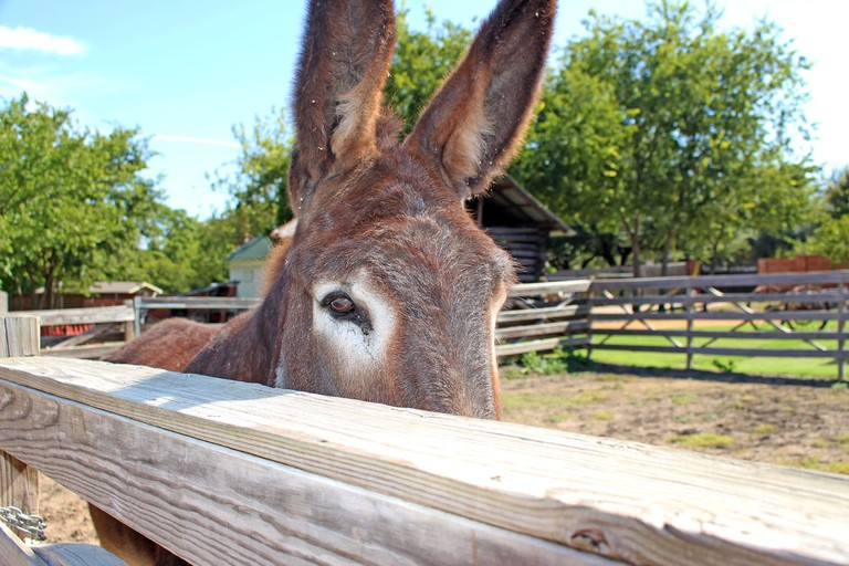 Donkey at Heritage Farmstead Museum