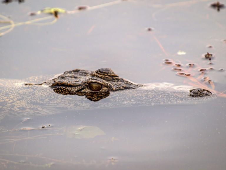 Okavango delta Crocodile