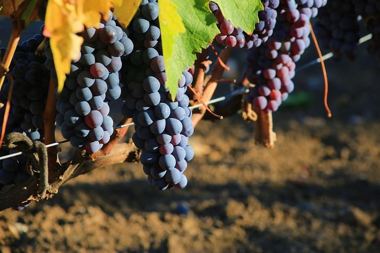 grapes-2749370_1920
