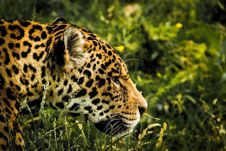 The jaguar is an important symbol of the park