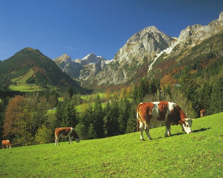 LOWRES_00000024315_Kuh-bei-Lungoetz-Lammertal-Salzburger-Land_Oesterreich-Werbung_Josef-Mallaun - Edited