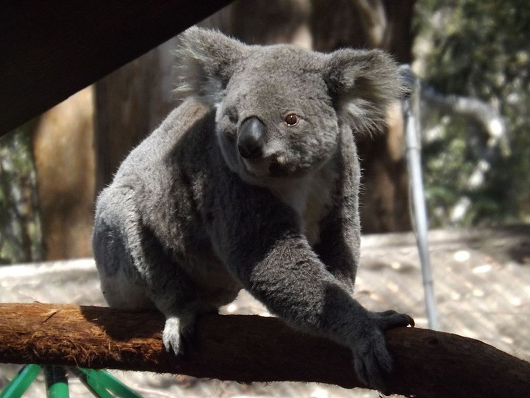 Nutsy the Koala at the Koala Hospital in Port Macquarie © Sophiebellek / Wikimedia Commons