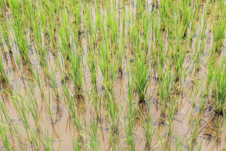 rice-2774321_1280