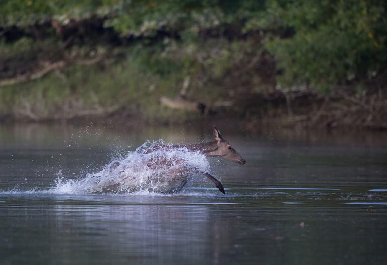 Female red deer running through water
