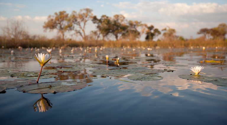 Water lilies on the surface waters of the Okavango delta in Botswana