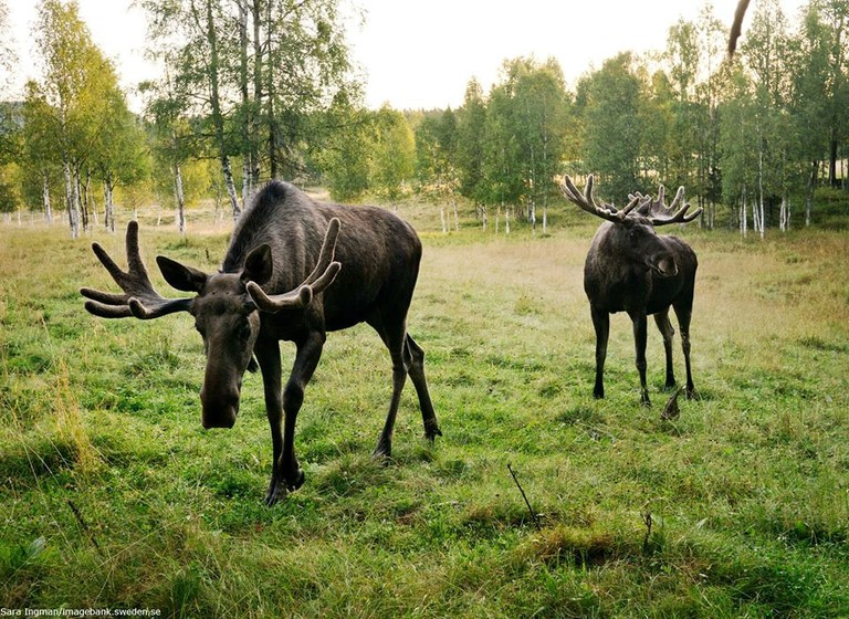 There are approximately 400,000 reindeer in Sweden