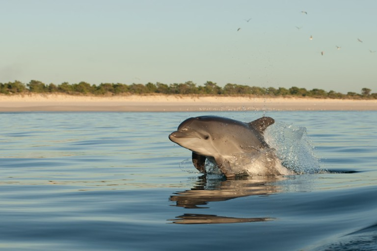 Bottlenose Dolphin (Tursiops truncatus), leaping in a Coast of Tróia, Portugal