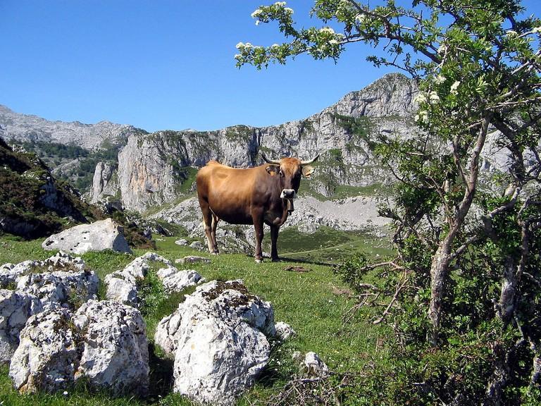 Cow in the Picos de Europa, Asturias