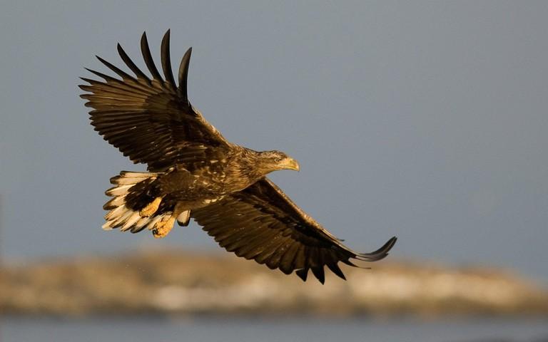 You can spot white-tailed eagles flying over the Vega archipelago, Courtesy of Visit Vega