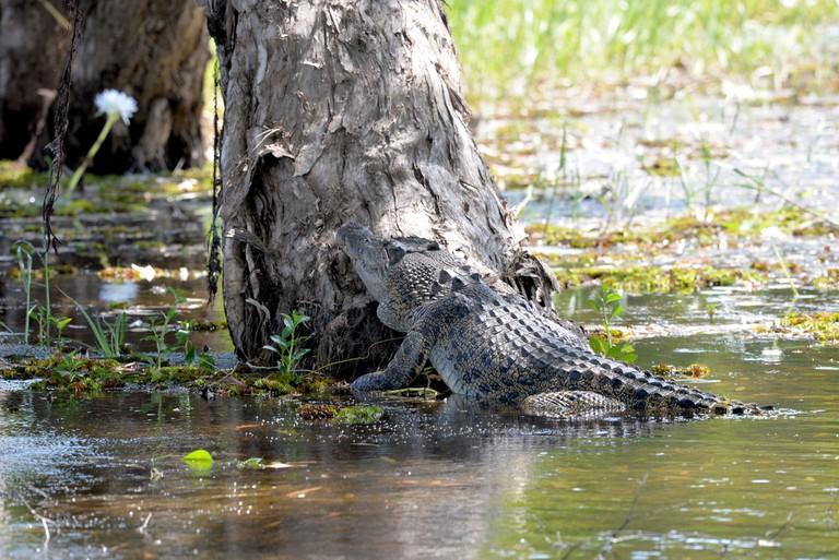 A saltwater crocodile lazing in Yellow Water billabong