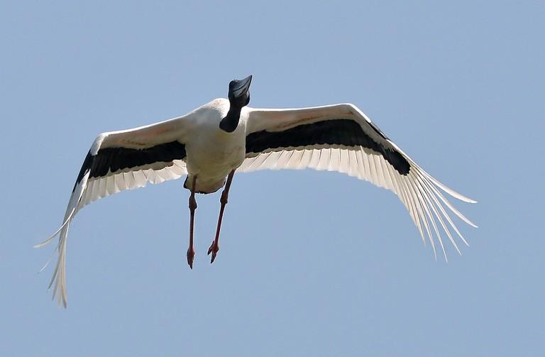 Black-necked stork spotted in Kakadu National Park