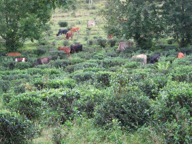 Cows grazing in Mae Hong Son