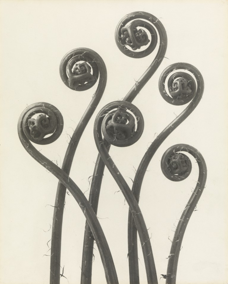 Karl Blossfeldt, 'Adiantum pedatum. Maidenhair fern' (before 1926)