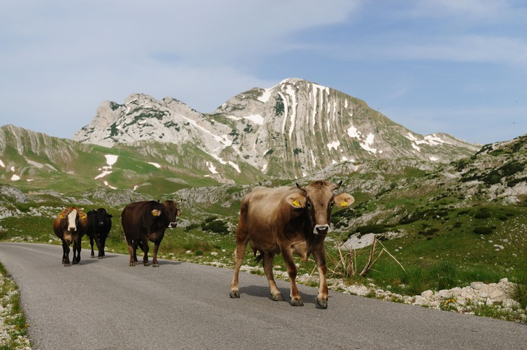 Cows on the road in Durmitor national park, Montenegro.