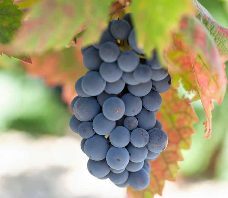 Grapes used to make Vranac wine in Montenegro.