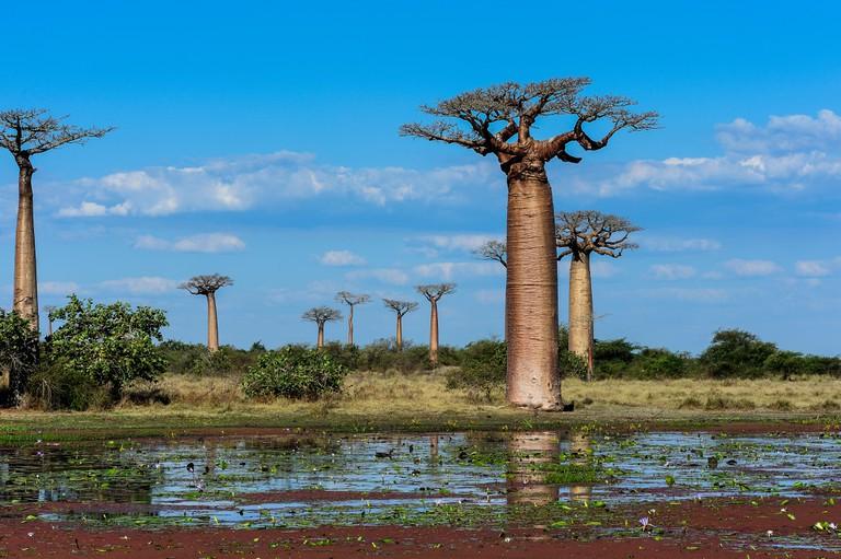 Baobab avenue, Menabe, Madagascar.